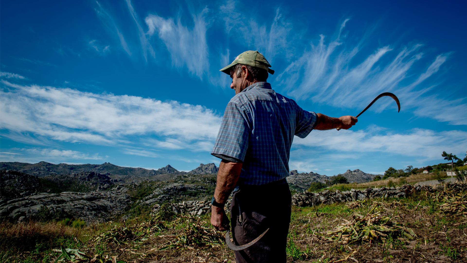 Agricultor, num campo de milho em Pitões de Júnias, com uma foice em cada mão.